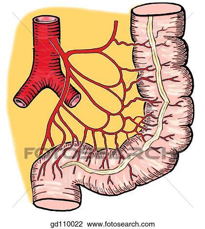Clip Art - zweige, von, dass, minderwertig, mesenterial, artery ...