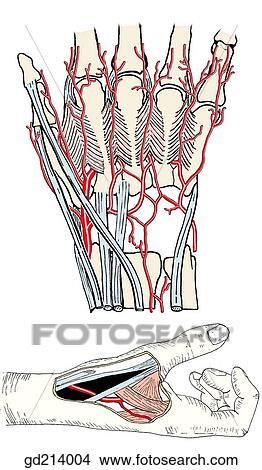 Dibujos - arteria radial, en, triangular, \