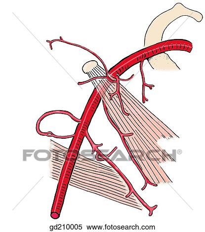 Stock Illustration of Branches of the axillary artery (schematic ...