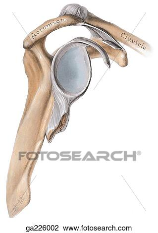 clip art of lateral view of the glenoid cavity. ga226002 - search, Cephalic Vein