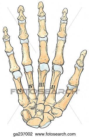 Clip Art - palmar, vista, de, el, huesos, de, el, mano. ga237002 ...