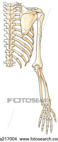 Posterior view of the bones of the upper limb, with the ...  Upper Extremity Bones Unlabeled