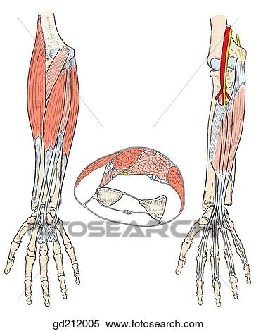 Stock Illustration of Superficial layers of anterior forearm muscles ...
