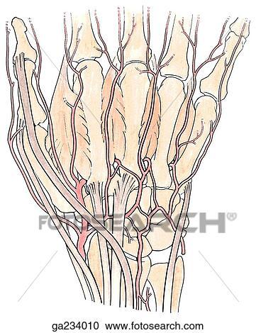 Colección de ilustraciones - vista posterior, de, ramas, de, arteria ...