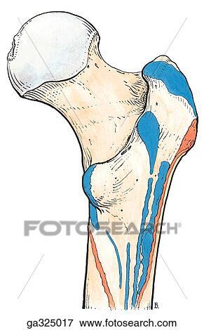Colección de ilustraciones - músculo, accesorios, de, acetabular ...