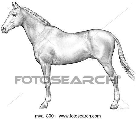 Clipart of Anatomy, external, equine mva18001 - Search Clip Art ...