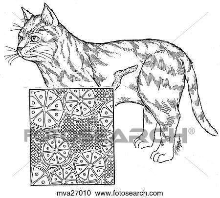 Stock Illustrations Of Pancreas Feline Mva27010