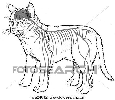 clipart sistema nervoso felino mva24012 busca de imagens clip