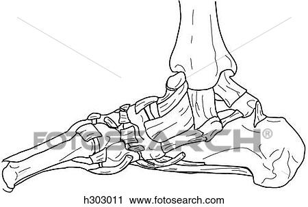 Clipart Of Bones Ligaments Tendons Of Ankle Foot H303011