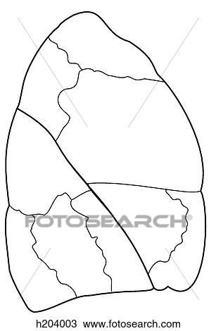 Drawing of Bronchopulmonary segments of right lung h204003 - Search ...