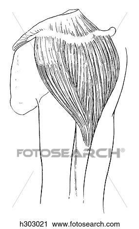 Clipart - deltoid, muskel h303021 - Suche Clip Art, Illustration ...