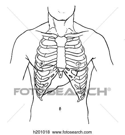Stock Illustration Of Liver Thorax H201018