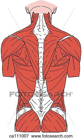 Colección de ilustraciones - espalda, músculos, superficial ca111007 ...