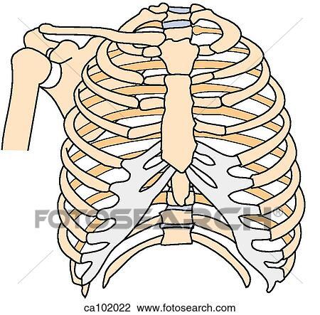 clip art of skeleton w shoulder thoracic ca102022 search clipart rh fotosearch com skeleton clip art free skeleton clip art free printable