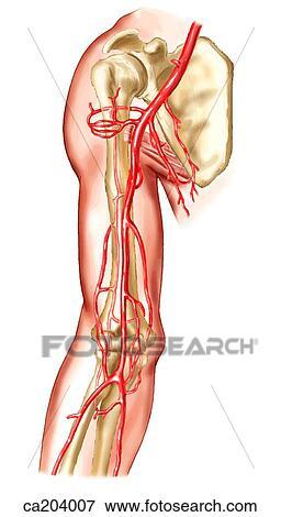 Stock Illustration - brachial, arterie, und, ihr, zweige ca204007 ...