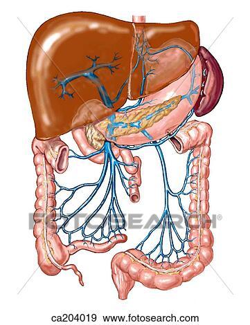Stock Illustration - hepatisch, portal, system, frühe ansicht ...