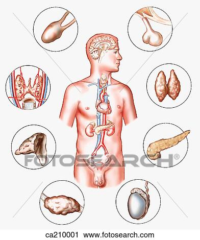 Clipart of Location of glands of endocrine system ca210001 - Search ...