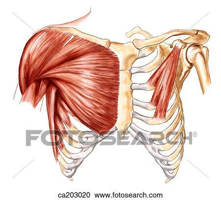 Stock Illustrationen - muskeln, von, thorax, und, schulter ca203020 ...