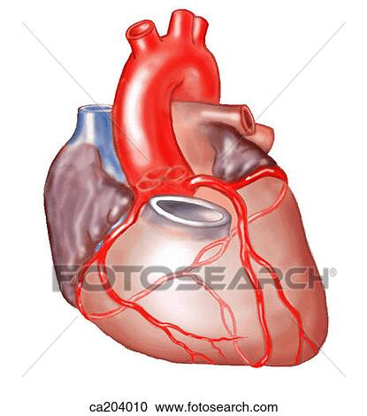 Stock Illustrations Of Sternocostal Surface Of Heart With Roots Of