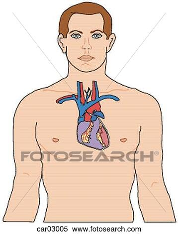 Stock Illustration Of Location Of Heart And Great Vessels Within