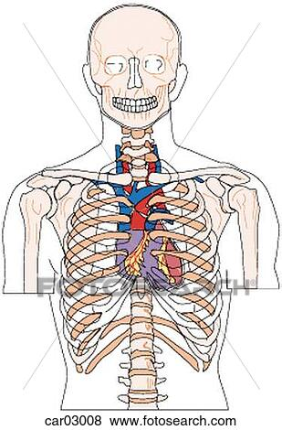 Stock Illustration of Location of heart and great vessels within ...