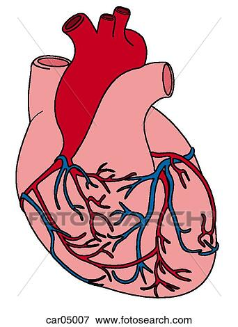 Stock Illustration of Sternocostal surface of heart with roots of ...