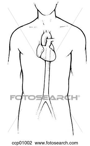 Clip Art of Anatomy, heart and descending aorta ccp01002 - Search ...