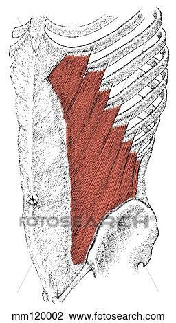 Clip Art - oblicuo externo, músculo mm120002 - Buscar Clip Art ...