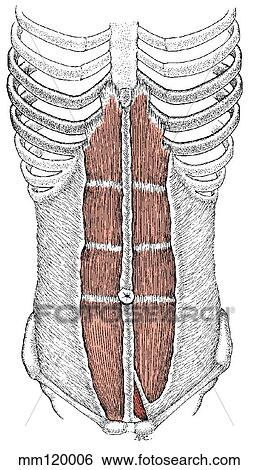 Stock Illustration of Rectus abdominis muscle mm120006 - Search Clip ...