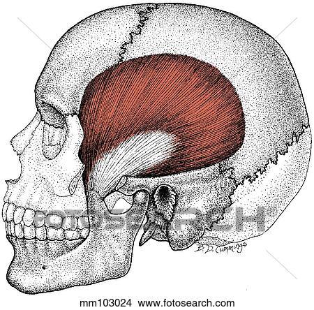 Zeichnungen - temporalis, muskel mm103024 - Suche Clip Art ...