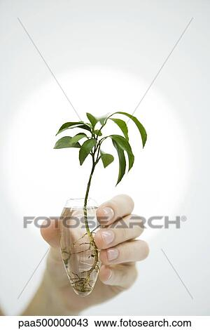 Stock Photo Of Hand Holding Plant In Vase Of Water Close Up