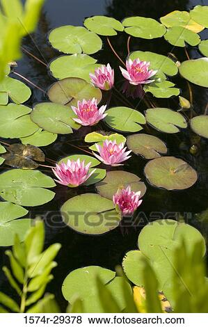 Pictures Of Lotus Flowers In Pond 1574r 29378 Search Stock Photos
