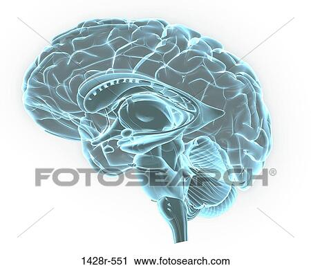 Stock Photography of Blue X-ray image of human brain anatomy, 3-D ...