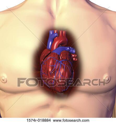 Dessins coeur humain 1574r 018884 recherche de clip - Dessin du coeur humain ...