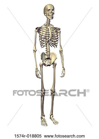 Stock Illustration of Human Skeletal System 1574r-018805 - Search ...