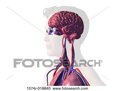 Stock Illustrationen - nahaufnahme, von, dass, inner, organe, von ...
