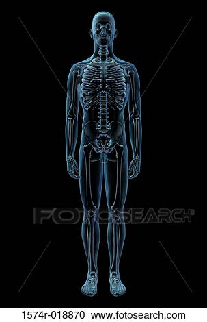 Stock Illustrations of X-ray of the skeletal system 1574r-018870 ...