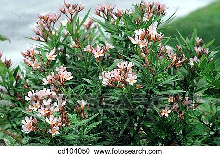 stock photography of oleander nerium oleander cd104050 search