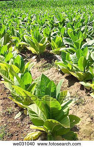 تبغ, (nicotiana, tabacum), plantation , fuentevaqueros, غرناطة, province ,  andalusia, إسبانيا ألبوم الصور