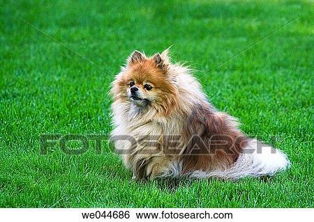 An Female Purebred Pomeranian Canis Familiaris Stock