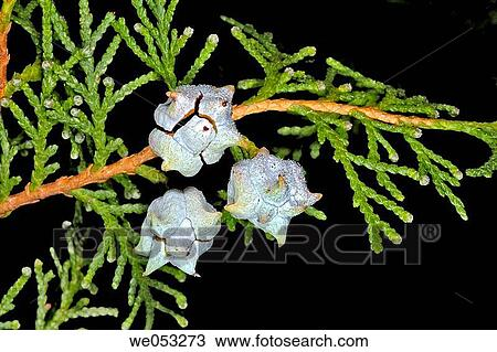 Super Thuja orientalis or Platycladus orientalis Stock Image | we053273 &YA_94