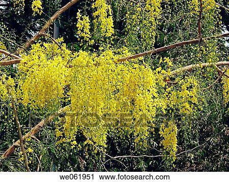 Stock Photography Of Flowers Cassia Fistula Indian Laburnum
