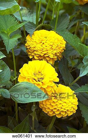 Stock photography of yellow zinnia flowers we061401 search stock yellow zinnia flowers mightylinksfo