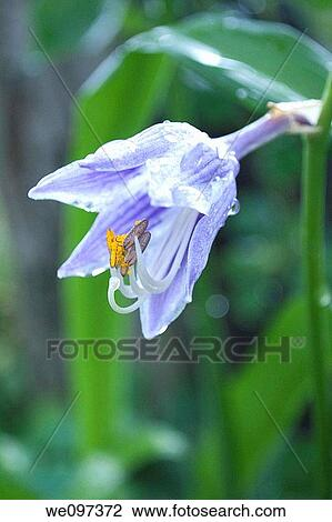 Stock photo of a bell shaped purple and white striped hosta flower a bell shaped purple and white striped hosta flower mightylinksfo