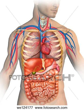 Picture Of Illustration Describing The Anatomy Of The Human Body