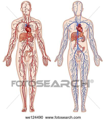 Stock Fotografie - abbildung, von, zwei, schematisch, menschliche ...