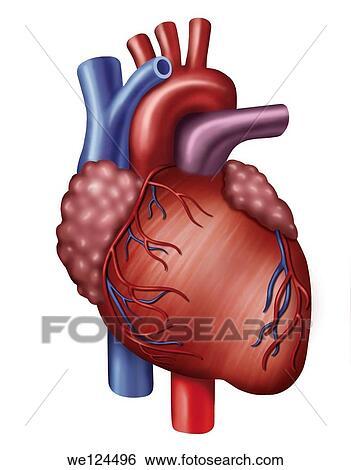 Stock Bilder - beschreibend, abbildung, von, herz, mit, aorta, und ...