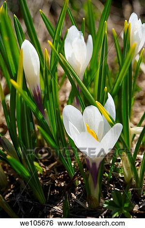 Stock images of alpine white crocus meadow flower crocus alpine white crocus meadow flower crocus albiflorus grindelwald switzerland mightylinksfo