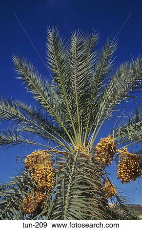 Stock Photograph Of Dates On Palm Tree Douz Tunisia Tun 209 Search