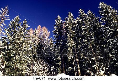 Fir Trees Covered In Snow Austria Stock Image
